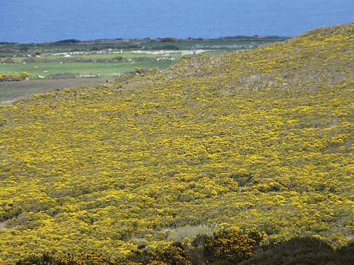 [Gorse in Bloom on Zennor Hill]